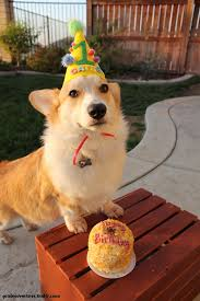 Corgi Birthday Meme - 1 it s a fluffy pembroke 2 they have a birthday hat on 3 they