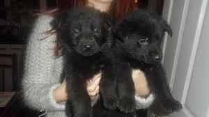 black german shepherd puppies 27 free wallpaper