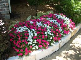 impatiens flowers garden tips impatiens virus flower color options shade
