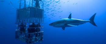 shark cage diving cape cod fairhaven portsmouth ma fish