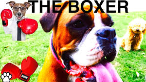 feeding a boxer dog boxer breed facts about boxers a tutorial by cooking for dogs