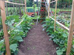 pumpkins trellis the pumkins grow grow up garden and