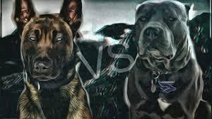 belgian shepherd vs pitbull fight bull terrier vs pitbull videos