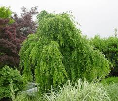green value nursery trees ornamental trees cercidiphyllum