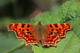 butterfly photo album file comma butterfly polygonia c album ab hutchinsoni jpg