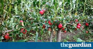 Blackmoor Fruit Trees - how to grow fruit in a small space life and style the guardian
