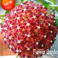orchid plants for sale online shop sale fuchsia orchid seeds hoya carnosa seeds