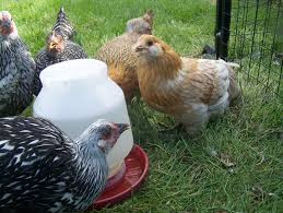 do your chickens need supplements backyard chickens