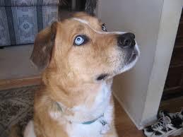australian shepherd husky lab mix adoptable dog