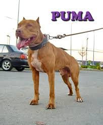 american pitbull terrier 7 months bangkok weight pull competition 2012 pitbulls go pitbull dog