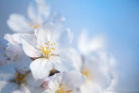 washington dc cherry blossom watch march 24 2016