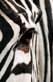 374 best zebra images on pinterest animals wild animals and horses