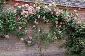 garden design ideas with climbing roses