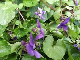 fiori viola viola mammola viola odorata coltivazione
