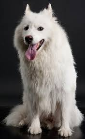 american eskimo dog calendar american eskimo dogs what u0027s good about u0027em what u0027s bad about u0027em