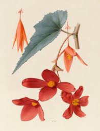 drawing of a flower by alfred riocreux by riocreux alfred at