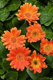 gerbera daisies hello pumpkin gerbera gerbera hybrid proven winners