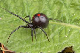 Black Widow Spiders Had A - what happens when a black widow bites vermont woman hospitalized time