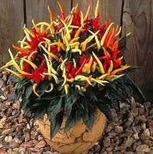 medusa ornamental pepper for ornamental peppers this