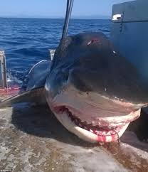 tiger shark measuring 18 foot caught off seven mile beach