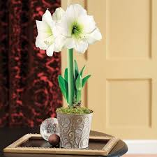Silk Amaryllis Flowers - 574 best amaryllis images on pinterest trumpets perennials and