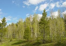file aspen tree grove in shoshone national forest jpg wikimedia
