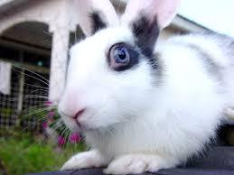 domestic rabbit hare jackrabbit u0026 cottontail eye color examples