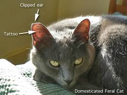 false feral cat ear clipping tipping