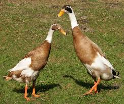 fawn and white indian runner duck marcell worley 2 baby