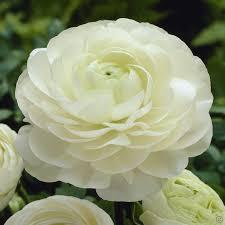 Ranunculus Ranunculus Asiaticus White 20 Flower Bulbs Buy Online Order Now