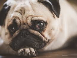 What Causes Dogs To Go Blind Sudden Acquired Retinal Degeneration Syndrome Sards In Dogs