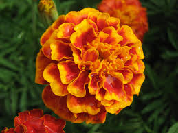 orange flower clipart genda pencil and in color orange flower