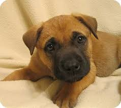 australian shepherd rottweiler mix puppies for sale akita shepherd akita x german shepherd mix temperament puppies