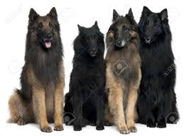 belgian sheepdog breeds belgian shepherd dogs in front of white background stock photo