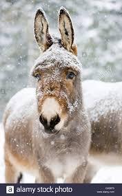 miniature donkey stock photos u0026 miniature donkey stock images alamy