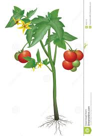 tomato plant stock photography image 1021772