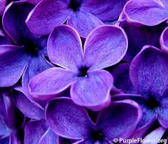 different types of purple purple flower why should you consider purpleflower org
