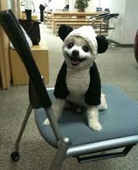 Panda Bear Halloween Costumes 18 Dogs Absolutely Love Halloween Costumes U2013 Pleated Jeans