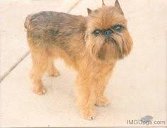 affenpinscher venta mexico um a tattoo with brussles griffon bows and scissors ink