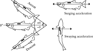 swimming speeds and buoyancy compensation of migrating chum
