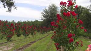 fast growing dynamite crepe myrtle for sale