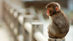 baby monkey wallpaper best baby monkey images nice collection
