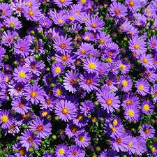 perennial flowers bloom guide costa farms