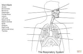 respiratory system worksheet coloring page free printable