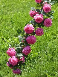 free picture grass nature garden rose spring flower flowering