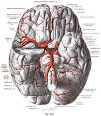 Ct Anatomy Of Brain Ppt Circle Of Willis Wikipedia