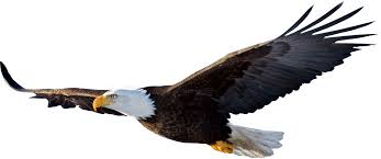 20 different types of eagles with pictures bird bald eagle and