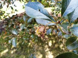 Rust Disease On Plants - cedar quince rust rages bygl