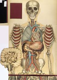 Pictures Of The Human Body Internal Organs Historical Anatomies On The Web Bouglé Julien Home