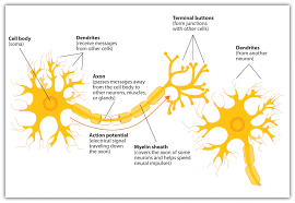 the neuron is the building block of the nervous system psychology 2
